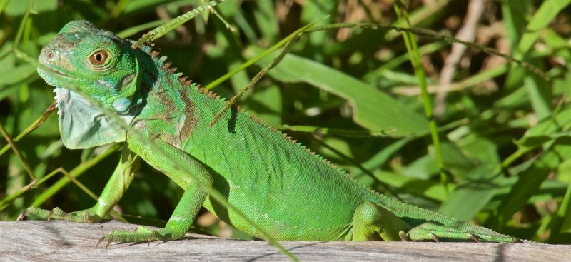 Iguanas and their Bad Luck - 2