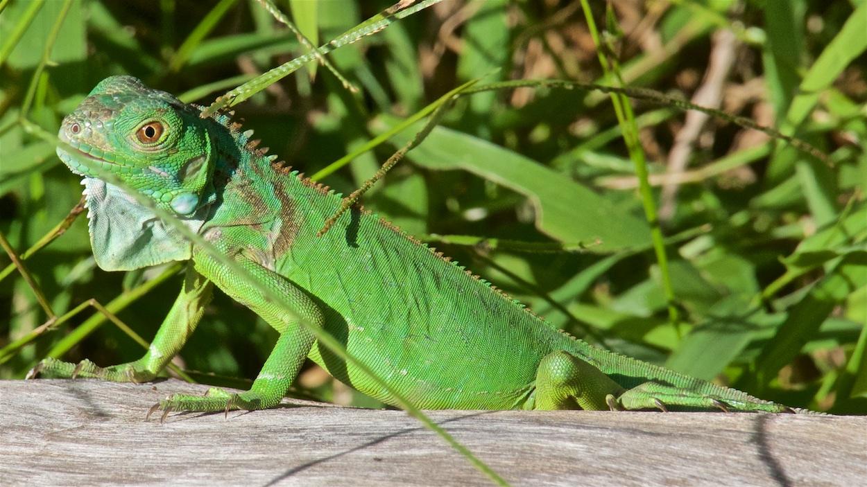 Iguanas and their Bad Luck - Vallarta Lifestyles