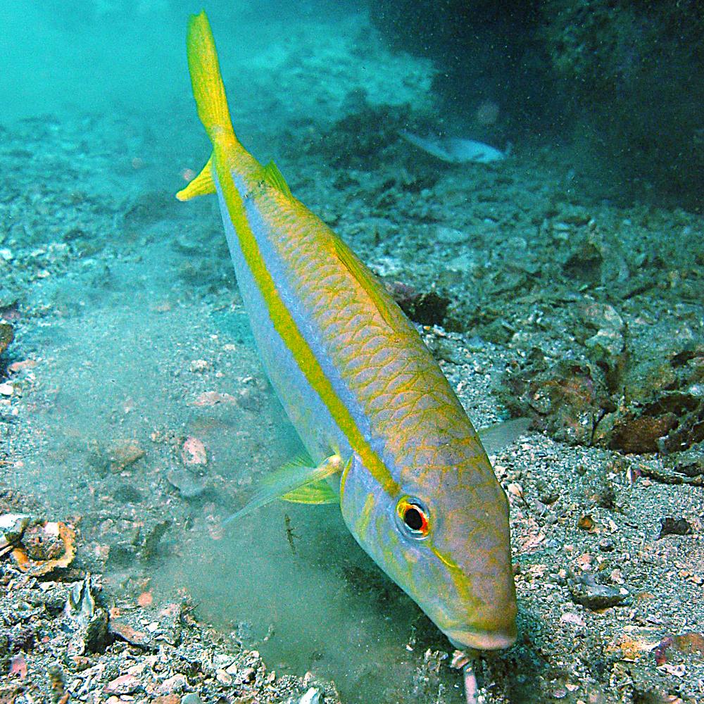 pez coral